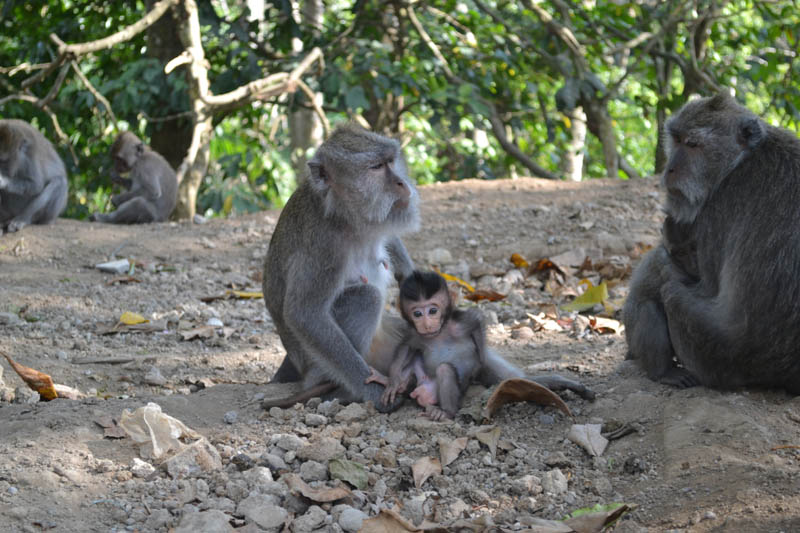 bébé singe indonésie