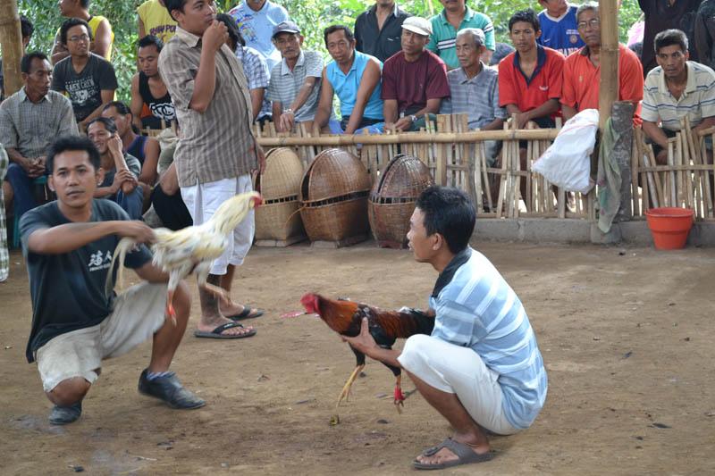 combat de coq indonésie 2