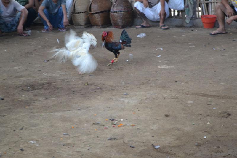 combat de coq indonésie 3